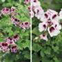 Pelargonium Mosquitaway collection