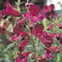 Penstemon Raven Plants
