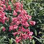 Penstemon Hewell's Pink Flower Plants