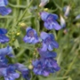 Penstemon Electric Blue plants
