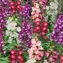 Penstemon Arabesque Mixed F1 Flower Plants