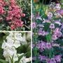 Penstemon Flower Plant Collection