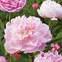 Peony Sarah Bernhardt Plants