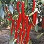 Chilli Pepper Fuego Plants