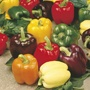 Sweet Pepper Jericho (Grafted) Plants