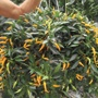 Sweet Pepper Sweet Sunshine Plants