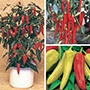 Nicely Spicy Chilli Pepper Plant Collect