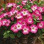 Petunia Corona Rose Rim Flower