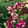 Petunia Tumbelina Crazy Ripple Plants
