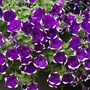 Petunia Glacier Sky Flower Plants