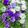 Petunia Tumbelina Belinda (Deep Blue)