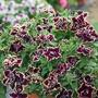 Petunia Tumbelina Superstar Flower Plants