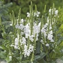 Physostegia Crystal Peak White Plants