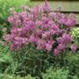 Physostegia Rose Bouquet Plants