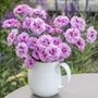 Dianthus Pink Ruffles Flower Plants