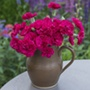 Dianthus Red Carpet Flower Plants