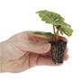 Begonia plug plant