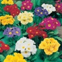 Polyanthus Crescendo Spring Fever Mixed