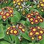Polyanthus Victoriana Gold Lace F1 Plants