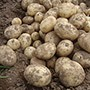 Potato Gemson