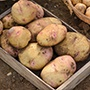 Potato Cara (Late Maincrop Seed Potato)