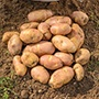 Potato (Maincrop) Inca Bella
