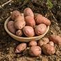Potato (Late Maincrop) Sarpo Axona