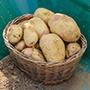 Potato (Maincrop) Vales Sovereign