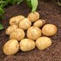 Potato Acoustic (Second Early Seed Potato)