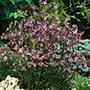 Ragged Robin Plants