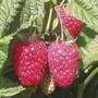 Raspberry Cascade Delight Canes