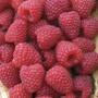 Raspberry Polka Canes
