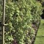 Raspberry Glen Ample Canes