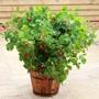 Raspberry Ruby Beauty® Plant