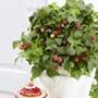 Raspberry Yummy Fruit Plant