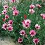 Rhodanthemum Pretty in Pink Flower Plant