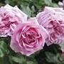 Rose Pompadour®