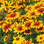 Rudbeckia Toto Mixed F1 Flower Plants