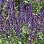 Salvia New Dimension Blue Flower Plants
