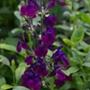 Salvia Nachtvlinder Flower Plants