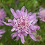 Wildflower Field Scabious plants