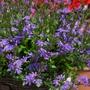 Scaevola Surdiva Light Blue Flower Plants