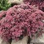 Sedum Sunsparkle Dazzleberry Plants