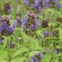 Selfheal Flower Plants