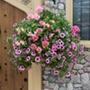 Pink To Rose Basket Mix Plants