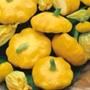 Squash (Summer) Sunburst F1 Veg Plants
