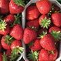 Strawberry (Late Season) Malwina