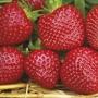 Strawberry Plants Malwina A+ Grade