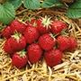 Strawberry Plants Elsanta