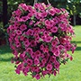 Petunia Surfinia Hot Pink Flower Plants
